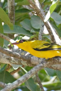African Golden Oriole 44