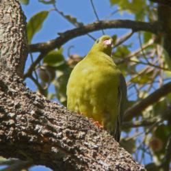 African Green Pigeon 35