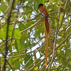 African Paradise Flycatcher 30