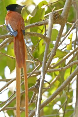 African Paradise Flycatcher 31